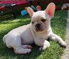 French Bulldog Puppies Ready
