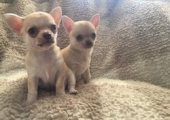 Lovely chihuahua puppies For Sale.