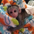 male and female Capuchin Monkeys for sale..q