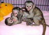 القرود الذكور والإناث القرود للبيع