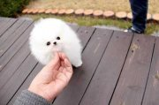 الجراء كلب صغير طويل الشعر على استعداد لترك