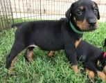Home Raised Doberman Pinscher Puppies Available for sale
