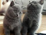 home trained british shorthair kittens for sale