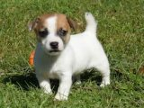 Gorgeous Jack Russell Terrier Puppies For sale