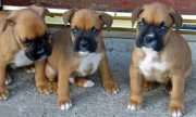 Lovely Male and Female Boxer Puppies Available