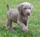 Weimaraner male and female Puppies for Re-homing