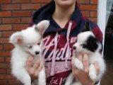 Gorgeous Papillon Puppies For Sale