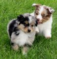 Two Beautiful Australian Shepherd Puppies Available for sale