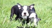 Registered Purebred Boston Terrier Puppies for sale