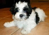 Lovely Havanese Puppies for sale