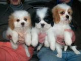 Sweet Shih Tzu Puppies For Sale