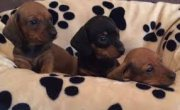 Male and Female Dachshund Puppies Available for sale