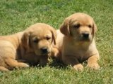 Registered Labrador Retriever Puppies for sale