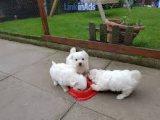 Three Maltese Puppies for sale