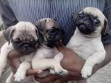 Lovely Pug Puppies for Pet sale