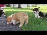 Adorable Pembroke Welsh Corgi Puppies for sale
