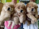 Purebred chow chow Puppies Available for sale