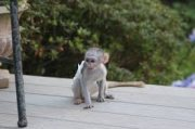 nicely male and female Capuchin Monkeys for Sale