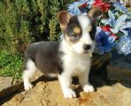 male and female pembroke welsh corgi puppies for sale