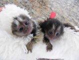 Marmoset Monkeys now available