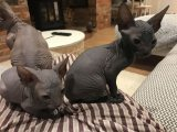 two healthy sphynx kittens for sale