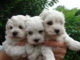 Gorgeous white Maltese Puppies for sale