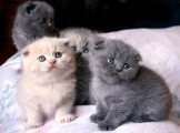 Scottish Fold Kittens for adoption