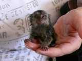 baby marmosets available now