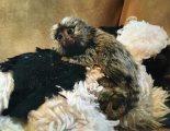 طفل القرود marmoset المتاحة للبيع