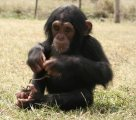 CUTE FEMALE BABY CHIMPANZEE FOR SALE