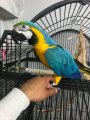 Lovely  Blue And Gold Macaw Parrot for sale.