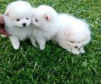 Home Trained Pomeranian Puppies For sale,