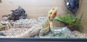Beautiful Bearded Dragon For Sale