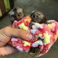 Good temperament Marmoset Monkeys For Sale.