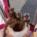Well Trained Marmoset Monkeys For Sale.