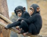 Chimpanzee ready for new homes