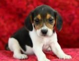 Beagle Dog for Sal