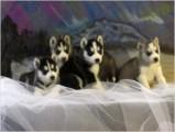 Siberian Husky Puppies - TOP QUALITY!