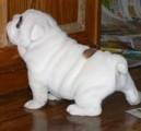 English Bulldog Puppies For Free Adoption
