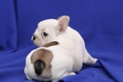 Top Quality French Bulldog Puppies Available