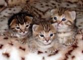 F2 savanna kittens For Free Adoption