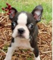 Black brindle and white Boston Terrier Puppies