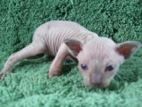Male Sphynx Cat for adoption