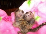 I have two Marmoset monkeys for sale