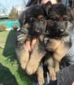 كلاب جيرمن شيبارد للبيع
