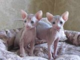 Beautiful bald and wrinkly sphynx kittens