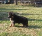 كلب جيرمن شيبارد