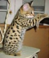 CFA REGISTERED SAVANNAH KITTENS