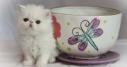Persians kittens looking for good homes