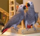 Lovely Pair of African Greys